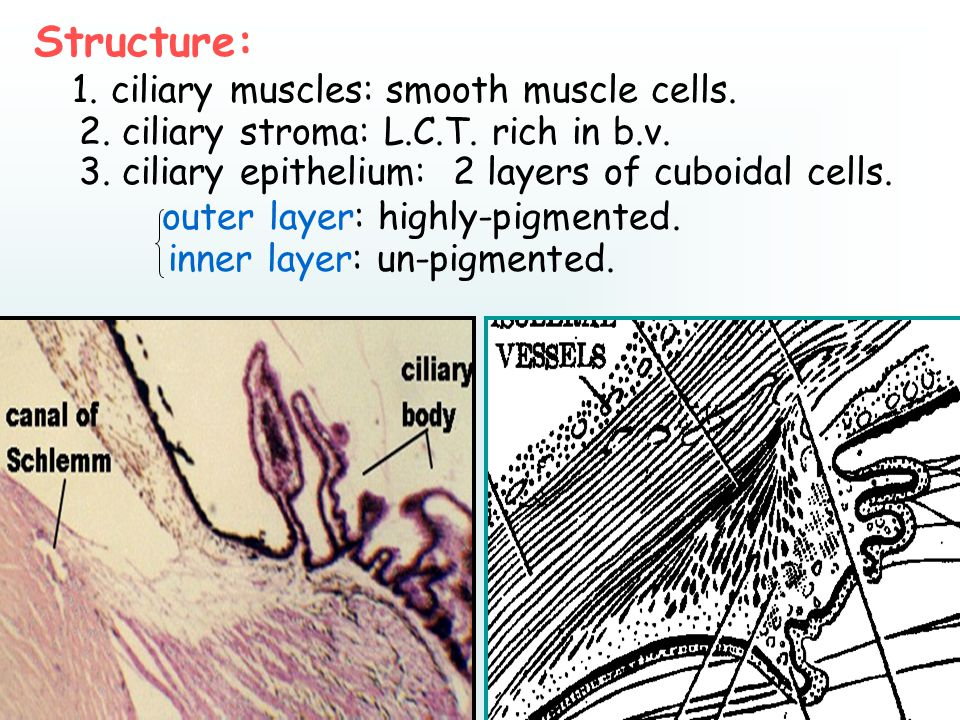 Structure: 1. ciliary muscles: smooth muscle cells.