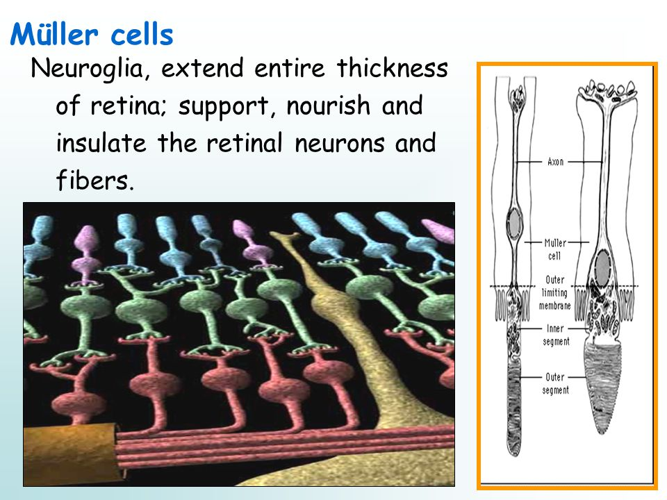 Müller cells Neuroglia, extend entire thickness of retina; support, nourish and insulate the retinal neurons and fibers.
