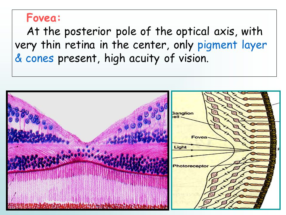 Fovea: At the posterior pole of the optical axis, with very thin retina in the center, only pigment layer & cones present, high acuity of vision.