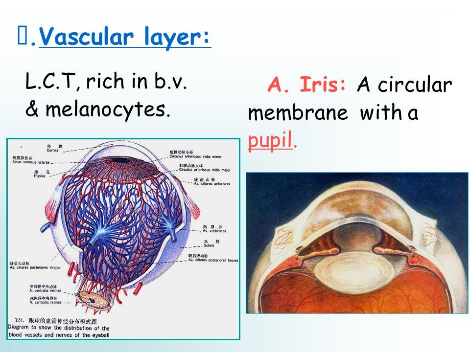 Ⅱ.Vascular layer: L.C.T, rich in b.v. & melanocytes. A. Iris: A circular membrane with a pupil.