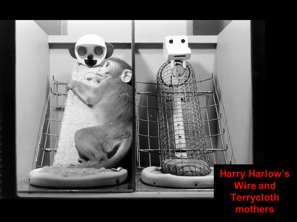 Harry Harlow's Wire and Terrycloth mothers