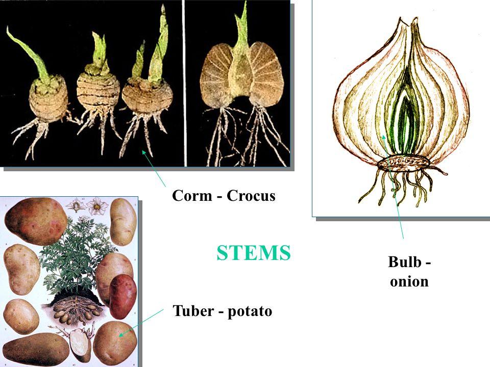 Bulb - onion Tuber - potato Corm - Crocus STEMS