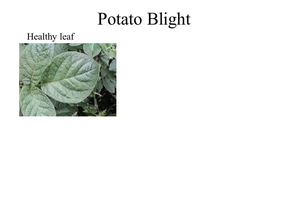Potato Blight Healthy leaf