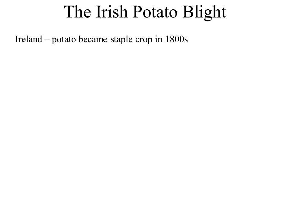 The Irish Potato Blight Ireland – potato became staple crop in 1800s