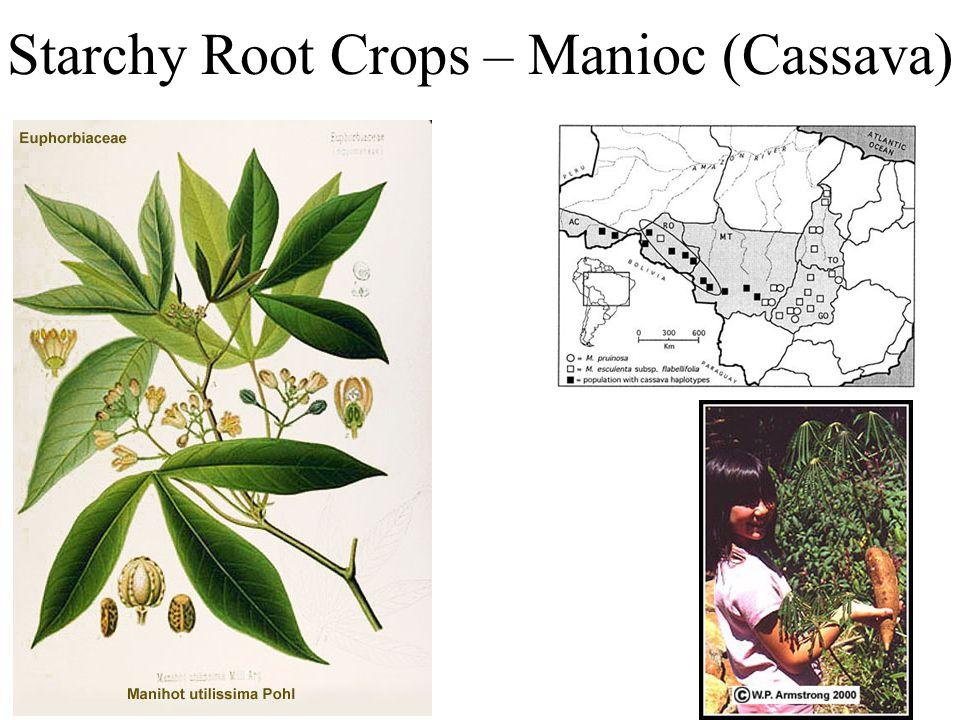 Starchy Root Crops – Manioc (Cassava)