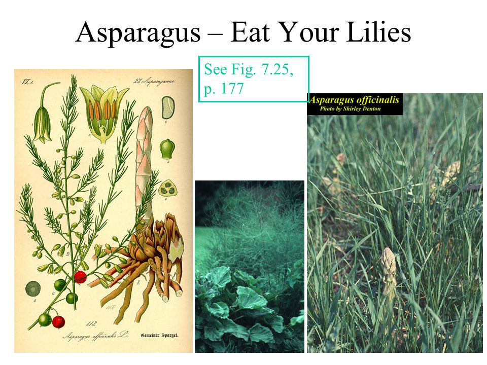 Asparagus – Eat Your Lilies See Fig. 7.25, p. 177