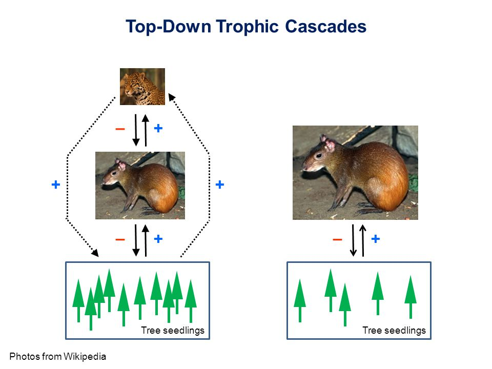 Photos from Wikipedia – + – + ++ – + Tree seedlings Top-Down Trophic Cascades