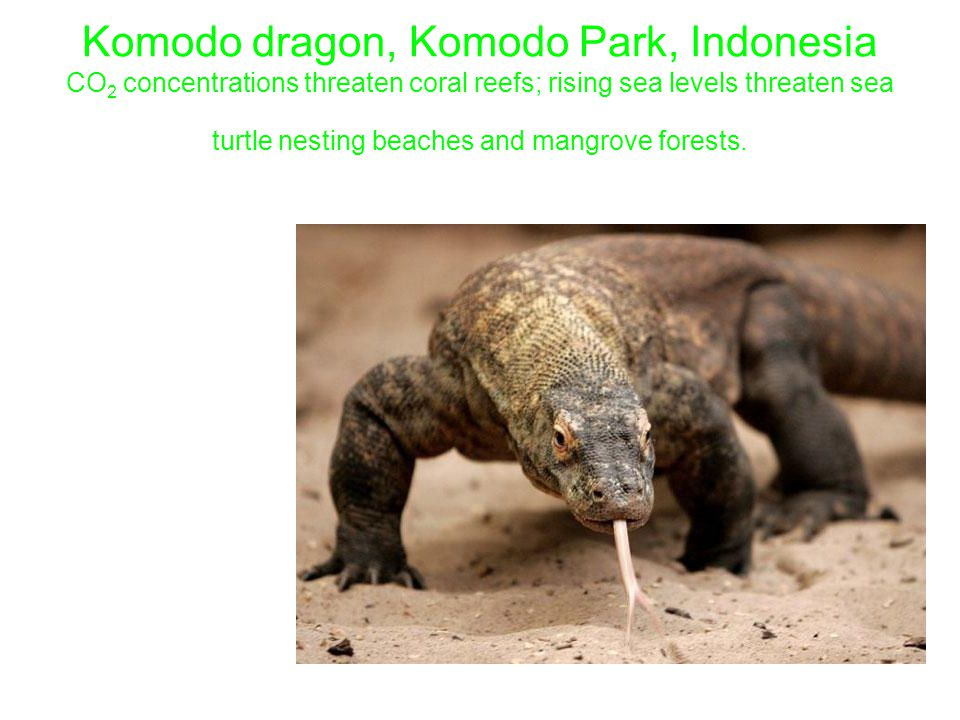 Komodo dragon, Komodo Park, Indonesia CO 2 concentrations threaten coral reefs; rising sea levels threaten sea turtle nesting beaches and mangrove forests.
