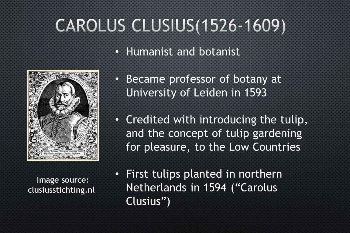 Image source: clusiusstichting.nl Humanist and botanist Became professor of botany at University of Leiden in 1593 Credited with introducing the tulip, and the concept of tulip gardening for pleasure, to the Low Countries First tulips planted in northern Netherlands in 1594 ( Carolus Clusius )