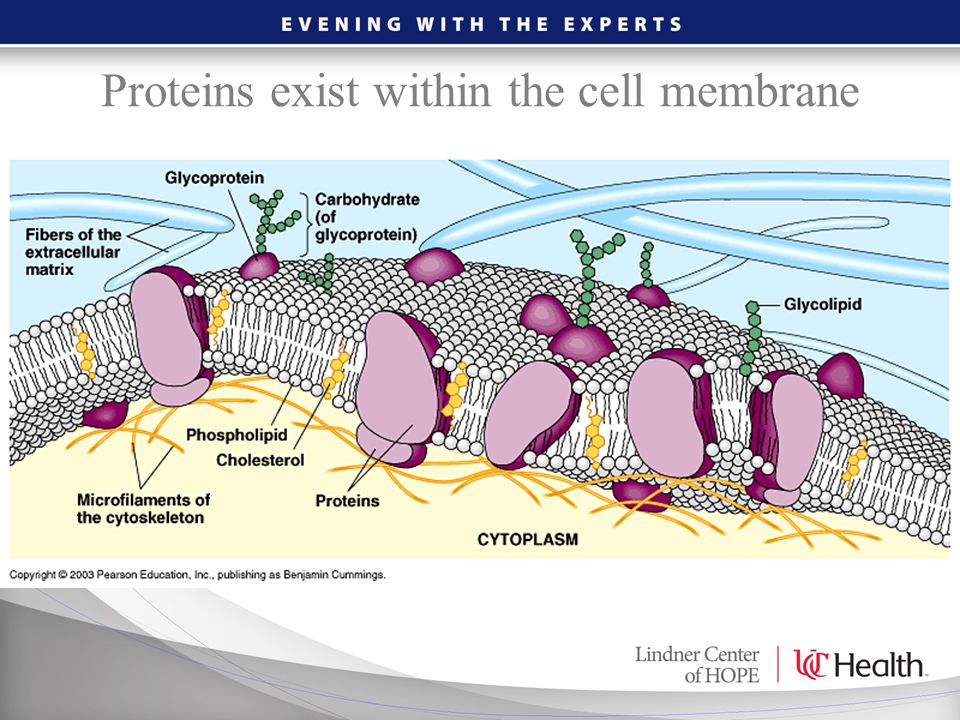 Proteins exist within the cell membrane
