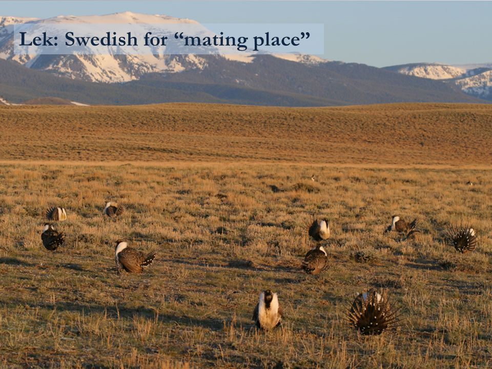 Lek: Swedish for mating place