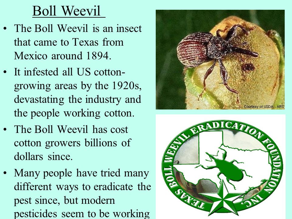 The Boll Weevil is an insect that came to Texas from Mexico around 1894.