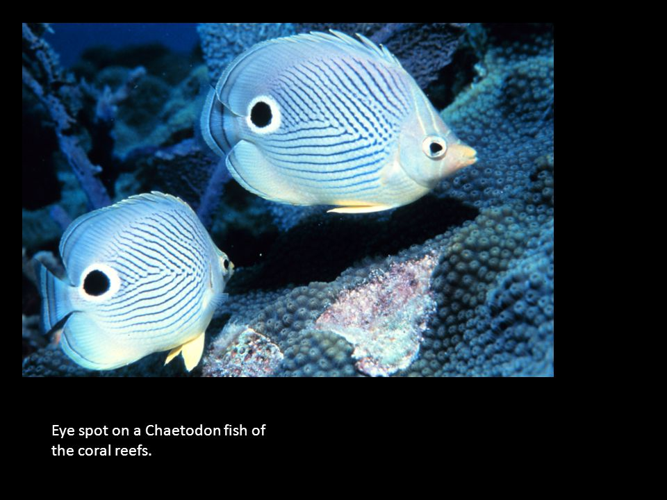 Eye spot on a Chaetodon fish of the coral reefs.