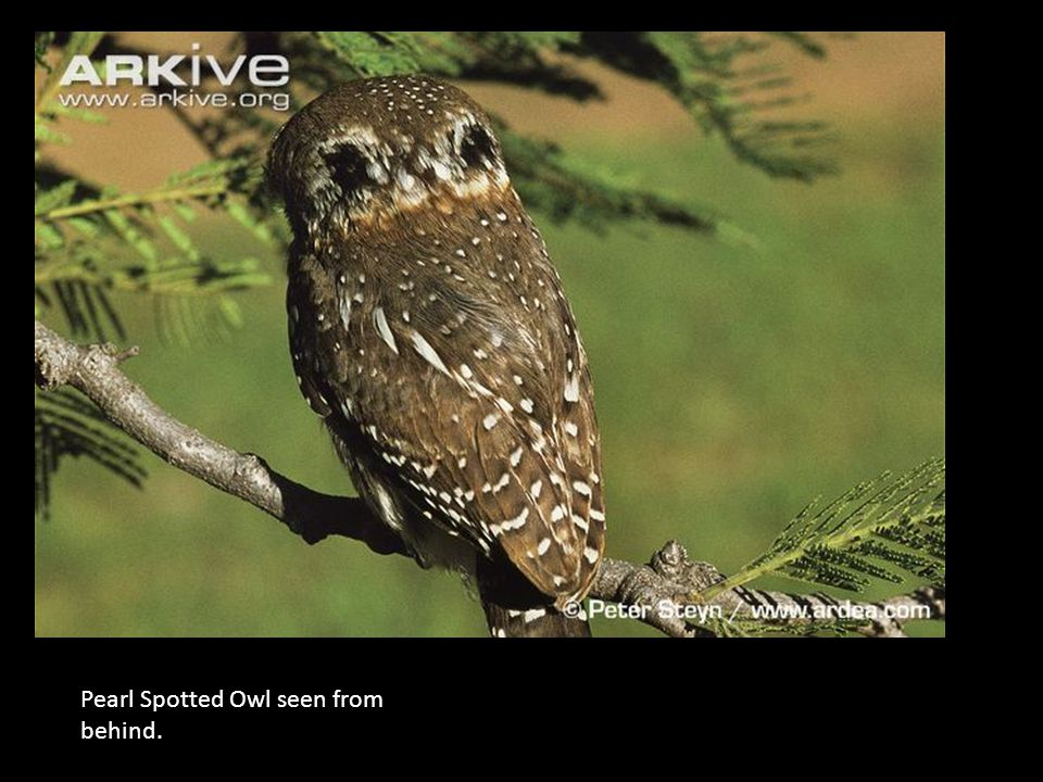 Peral; Pearl Spotted Owl seen from behind.