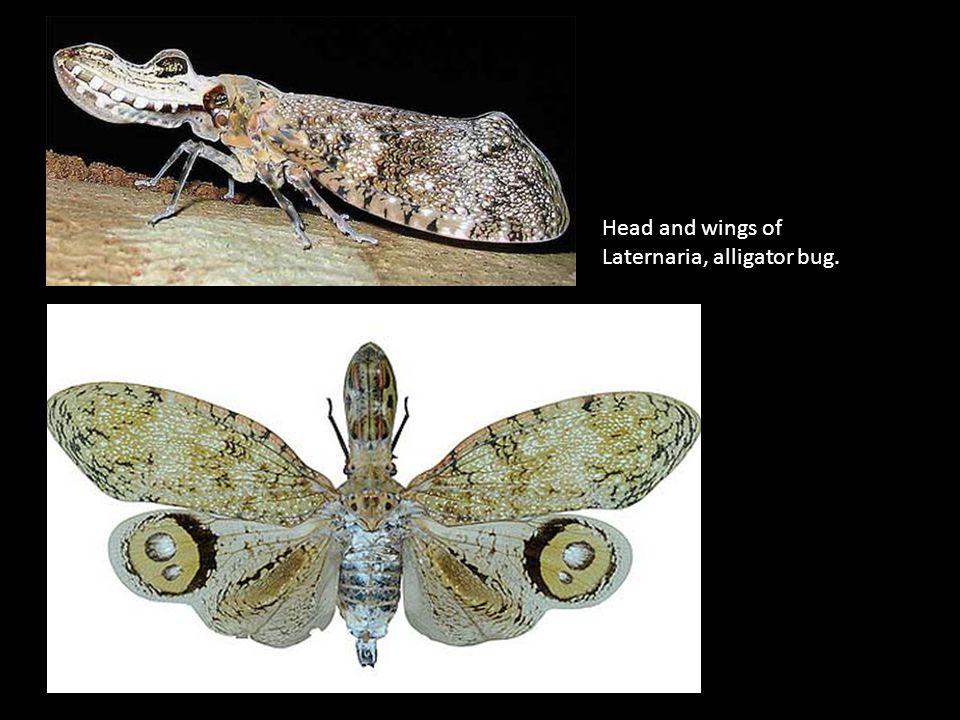 Head and wings of Laternaria, alligator bug.