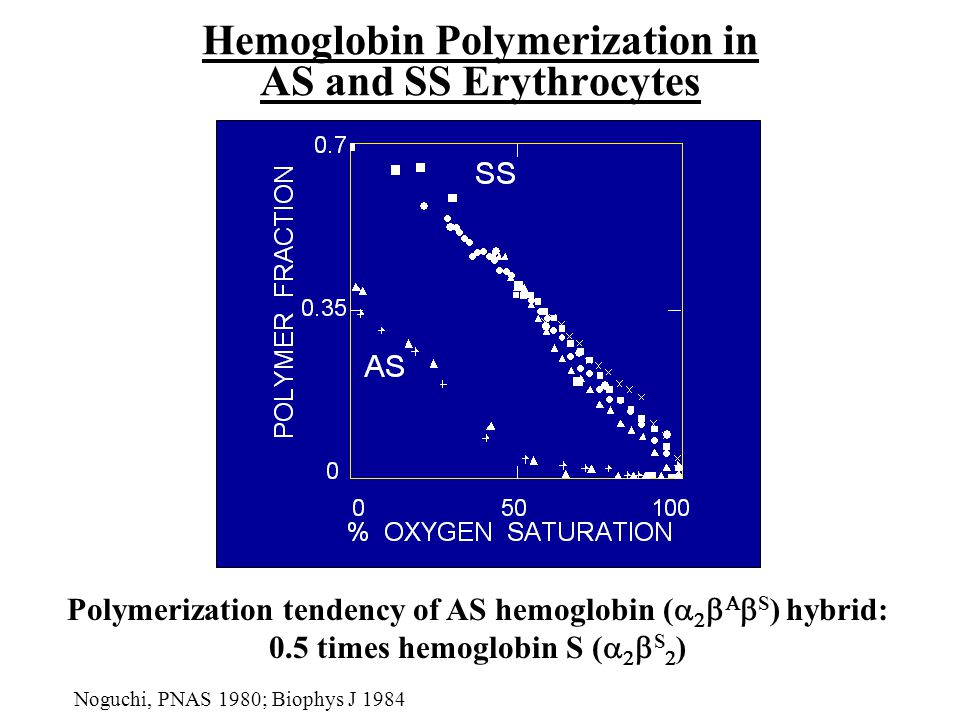 Hemoglobin Polymerization in AS and SS Erythrocytes Polymerization tendency of AS hemoglobin (      S ) hybrid: 0.5 times hemoglobin S (    S  ) Noguchi, PNAS 1980; Biophys J 1984