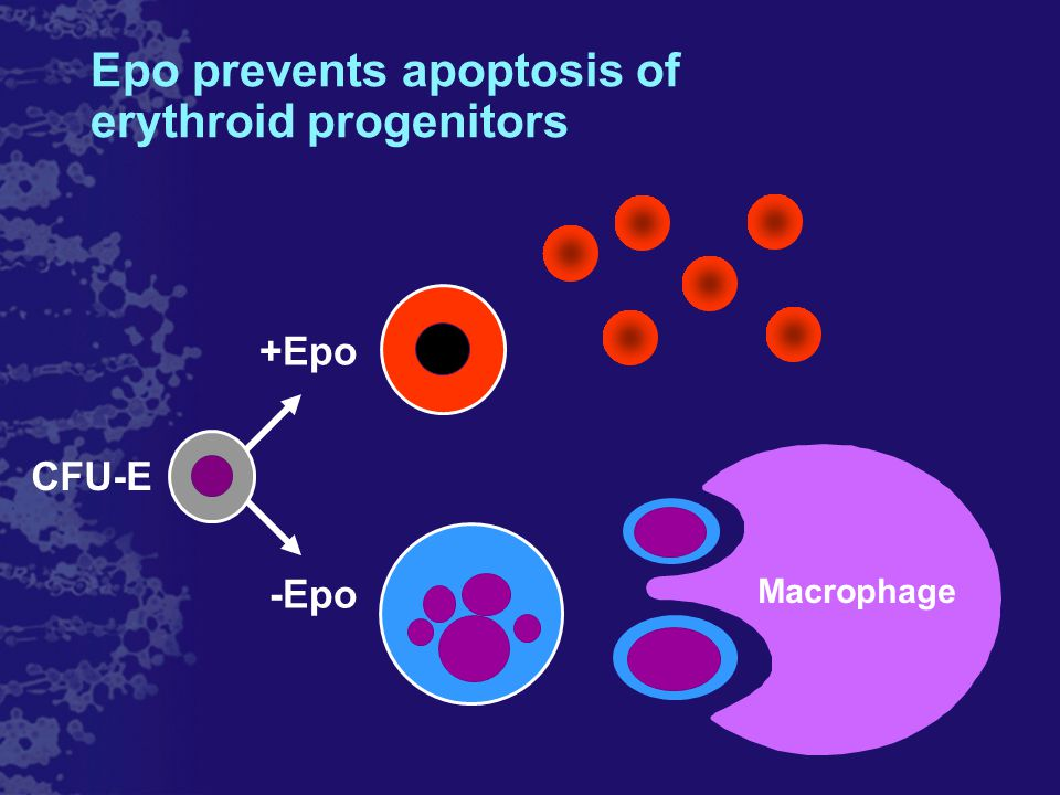 Macrophage +Epo -Epo Epo prevents apoptosis of erythroid progenitors CFU-E