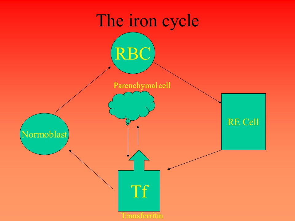 The iron cycle Tf Transferritin Parenchymal cell RBC Normoblast RE Cell