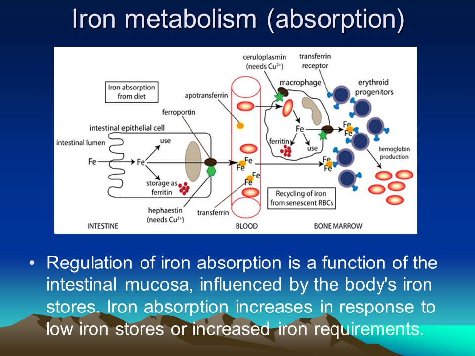 Iron metabolism (absorption) Regulation of iron absorption is a function of the intestinal mucosa, influenced by the body's iron stores. Iron absorpti