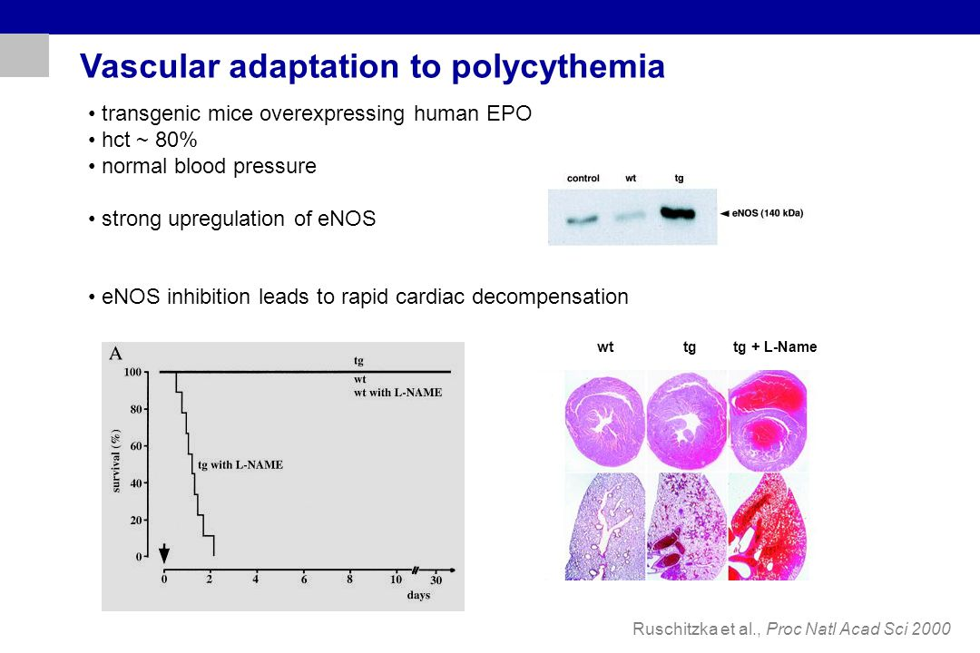 Vascular adaptation to polycythemia transgenic mice overexpressing human EPO hct ~ 80% normal blood pressure strong upregulation of eNOS eNOS inhibiti