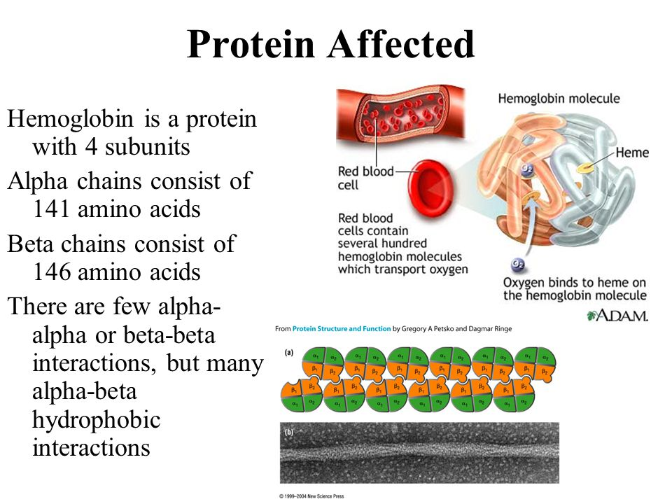 Protein Affected Hemoglobin is a protein with 4 subunits Alpha chains consist of 141 amino acids Beta chains consist of 146 amino acids There are few