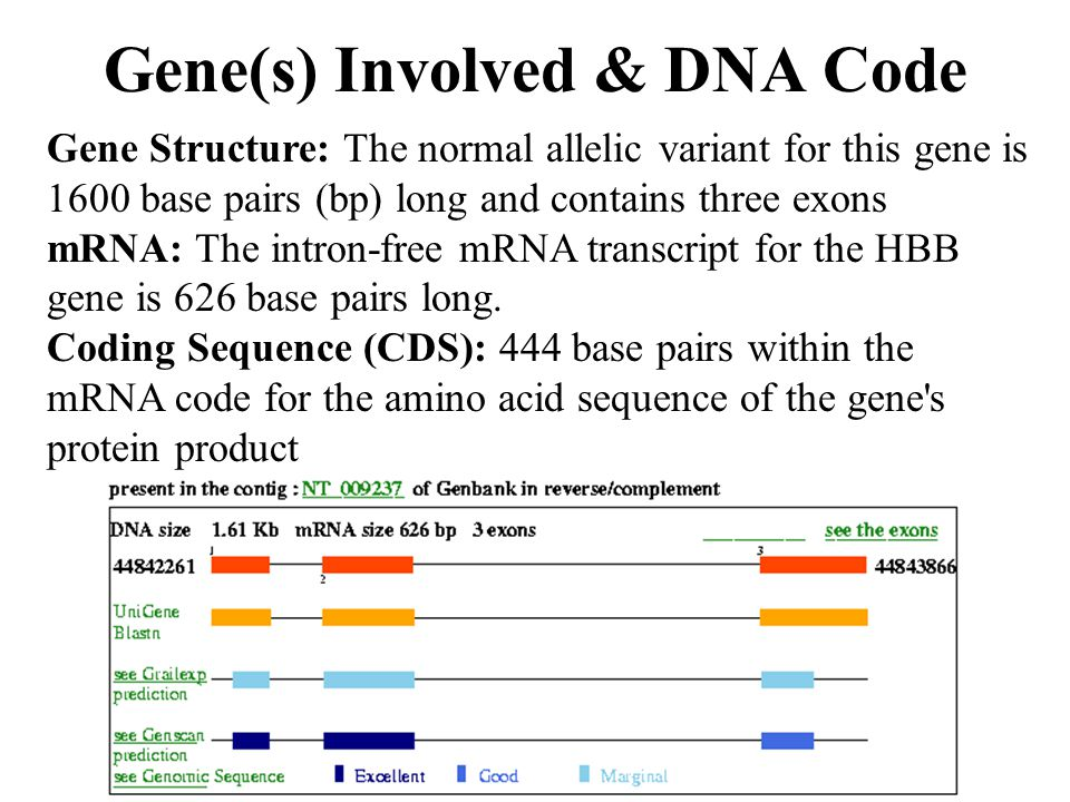 Gene Structure: The normal allelic variant for this gene is 1600 base pairs (bp) long and contains three exons mRNA: The intron-free mRNA transcript f