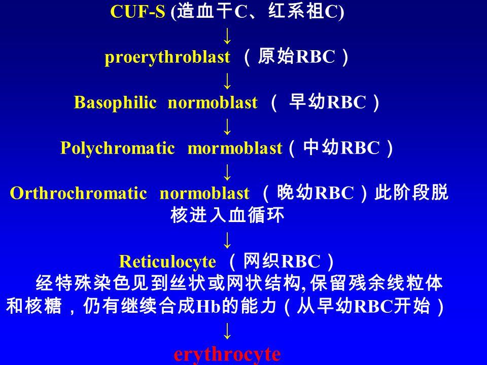 CUF-S ( 造血干 C 、红系祖 C) ↓ proerythroblast (原始 RBC ) ↓ Basophilic normoblast ( 早幼 RBC ) ↓ Polychromatic mormoblast (中幼 RBC ) ↓ Orthrochromatic normoblast