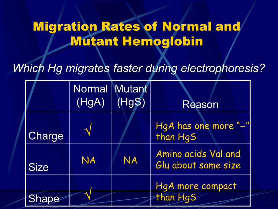 Migration Rates of Normal and Mutant Hemoglobin Which Hg migrates faster during electrophoresis.