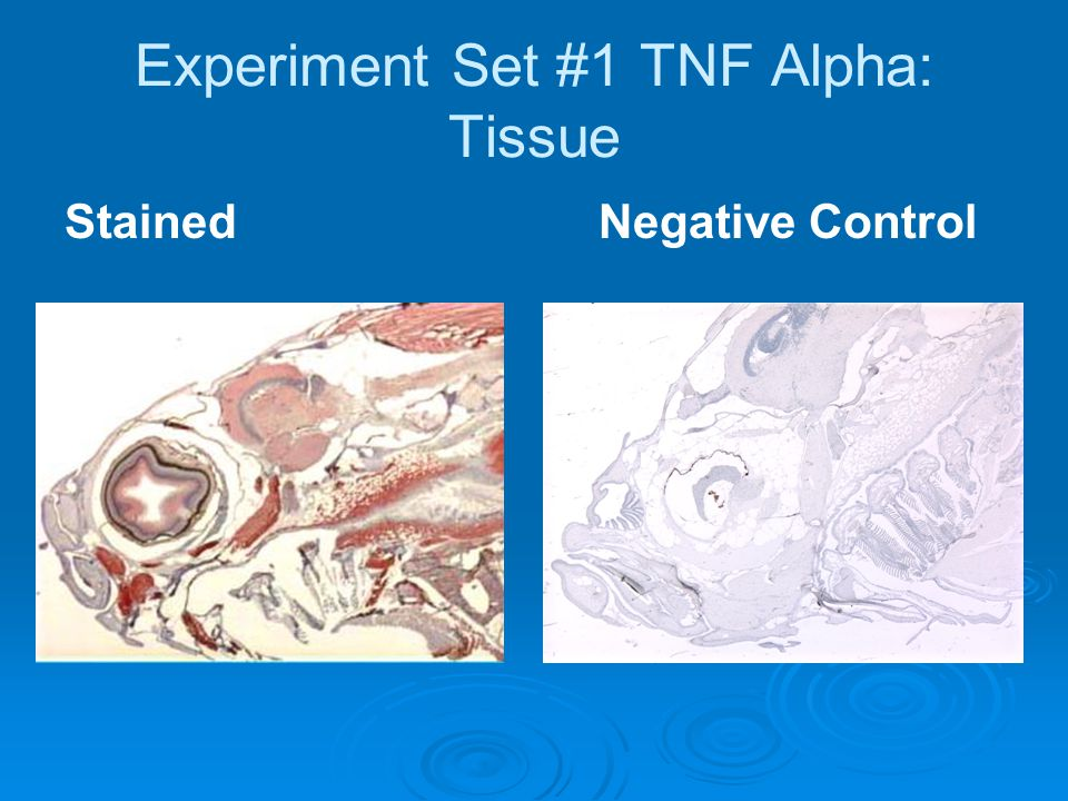 Experiment Set #1 TNF Alpha: Tissue StainedNegative Control