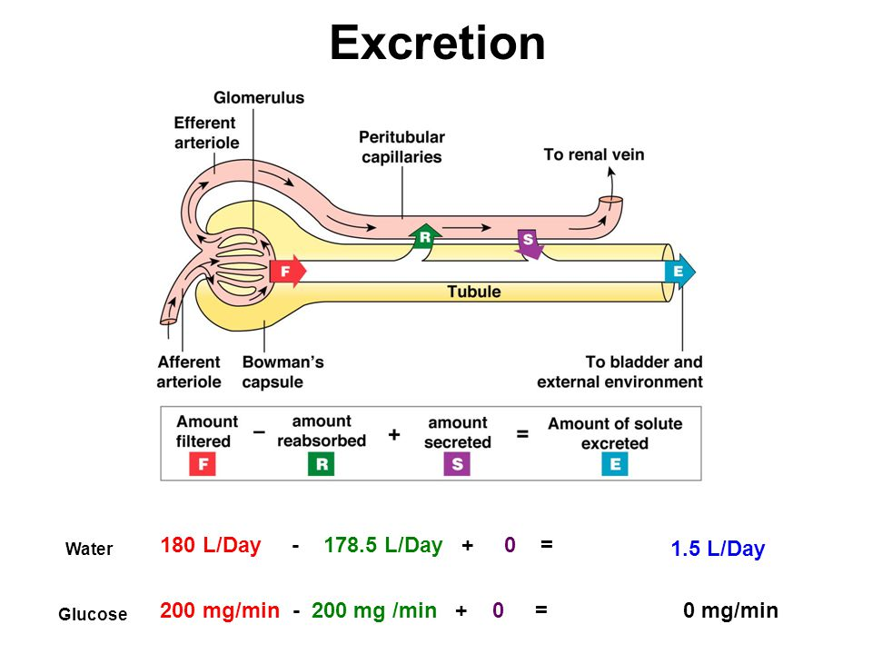 1.5 L/Day 180 L/Day - 178.5 L/Day + 0 = Water Glucose 200 mg/min - 200 mg /min + 0 =0 mg/min Excretion