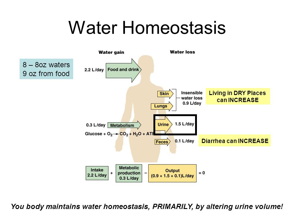 Water Homeostasis Diarrhea can INCREASE Living in DRY Places can INCREASE 8 – 8oz waters 9 oz from food You body maintains water homeostasis, PRIMARILY, by altering urine volume!