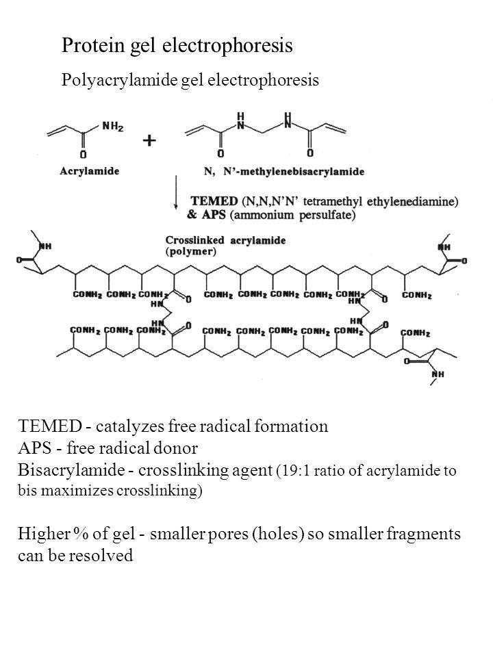 Protein gel electrophoresis Polyacrylamide gel electrophoresis TEMED - catalyzes free radical formation APS - free radical donor Bisacrylamide - cross