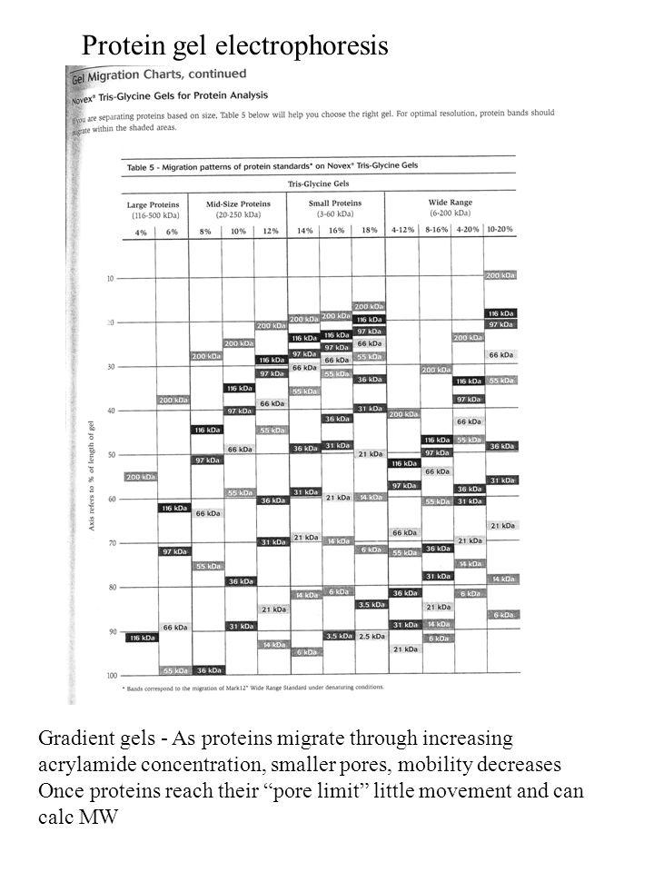 Protein gel electrophoresis Agarose gel electrophoresis Agarose is a long sugar molecule Room tempHeated, >70˚ C Agarose - separation of large molecules 8 kD to 800,000 kD Polyacrylamide - separation of smaller molecules 0.2 kD to 500 kD