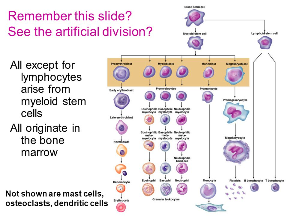 16 All except for lymphocytes arise from myeloid stem cells All originate in the bone marrow Not shown are mast cells, osteoclasts, dendritic cells Remember this slide.