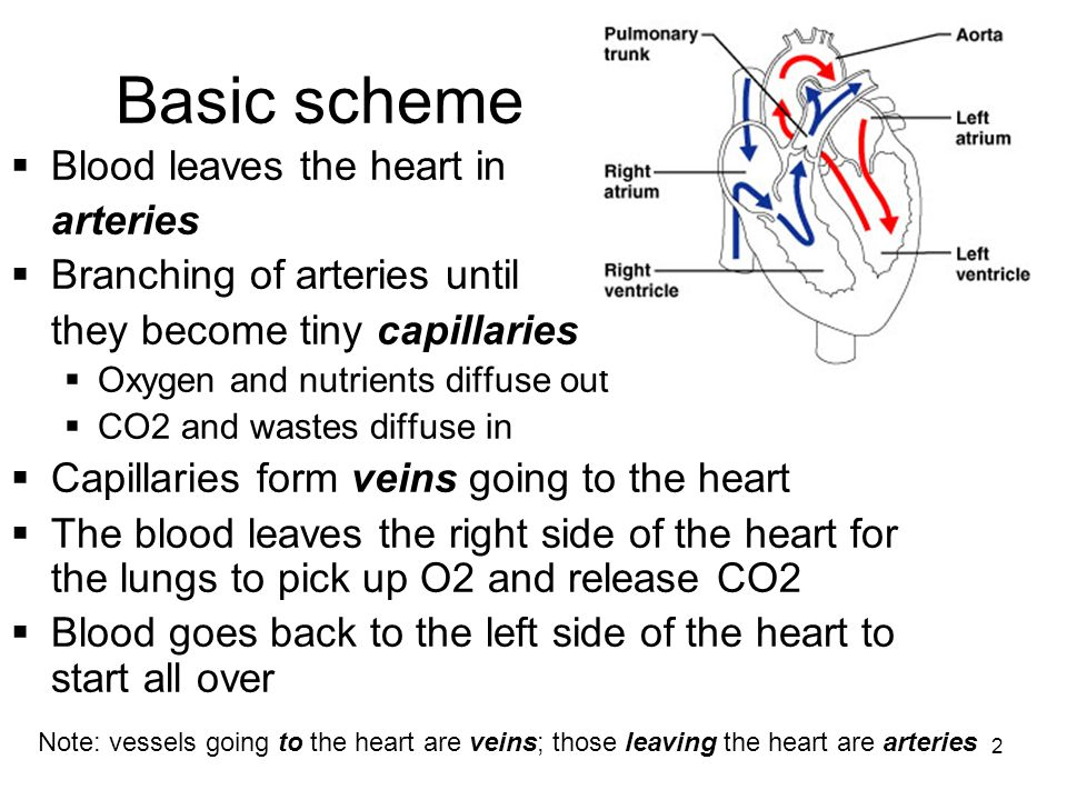 2 Basic scheme  Blood leaves the heart in arteries  Branching of arteries until they become tiny capillaries  Oxygen and nutrients diffuse out  CO2 and wastes diffuse in  Capillaries form veins going to the heart  The blood leaves the right side of the heart for the lungs to pick up O2 and release CO2  Blood goes back to the left side of the heart to start all over Note: vessels going to the heart are veins; those leaving the heart are arteries