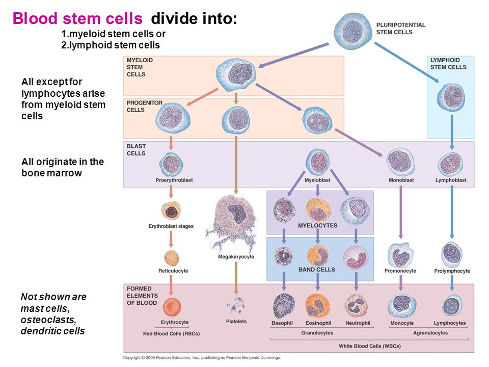 9 Blood stem cells divide into: 1.myeloid stem cells or 2.lymphoid stem cells All except for lymphocytes arise from myeloid stem cells All originate in the bone marrow Not shown are mast cells, osteoclasts, dendritic cells