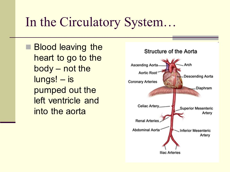 In the Circulatory System… Blood leaving the heart to go to the body – not the lungs! – is pumped out the left ventricle and into the aorta