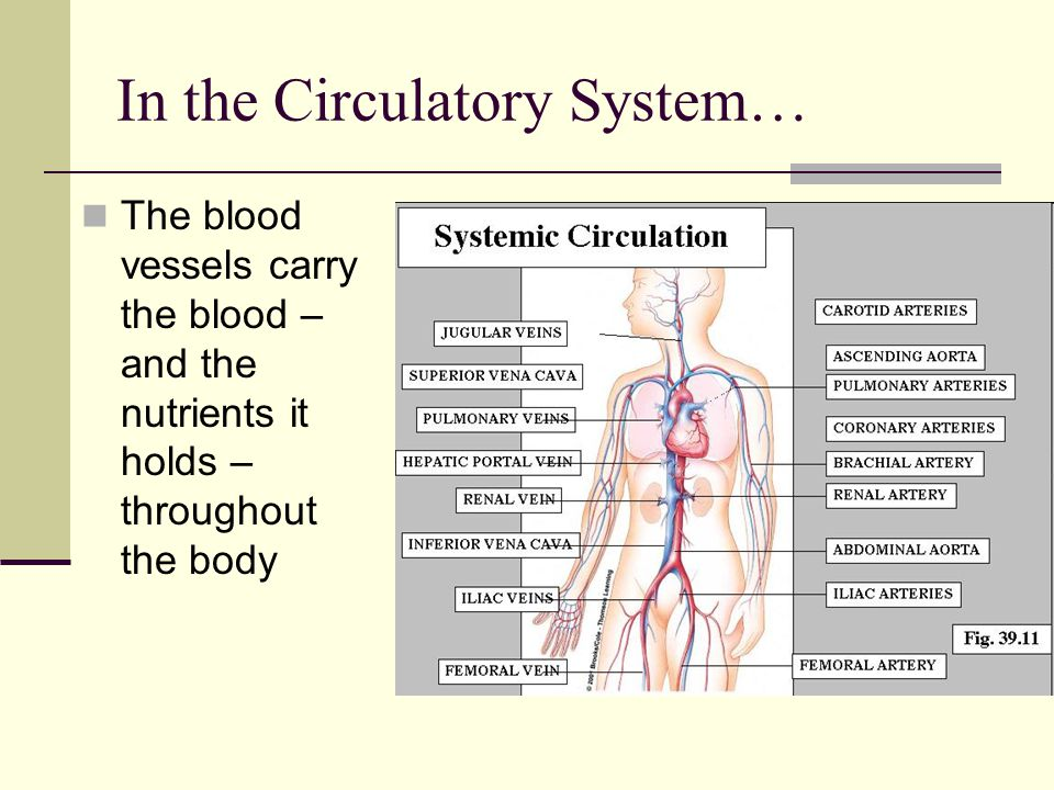 In the Circulatory System… The blood vessels carry the blood – and the nutrients it holds – throughout the body