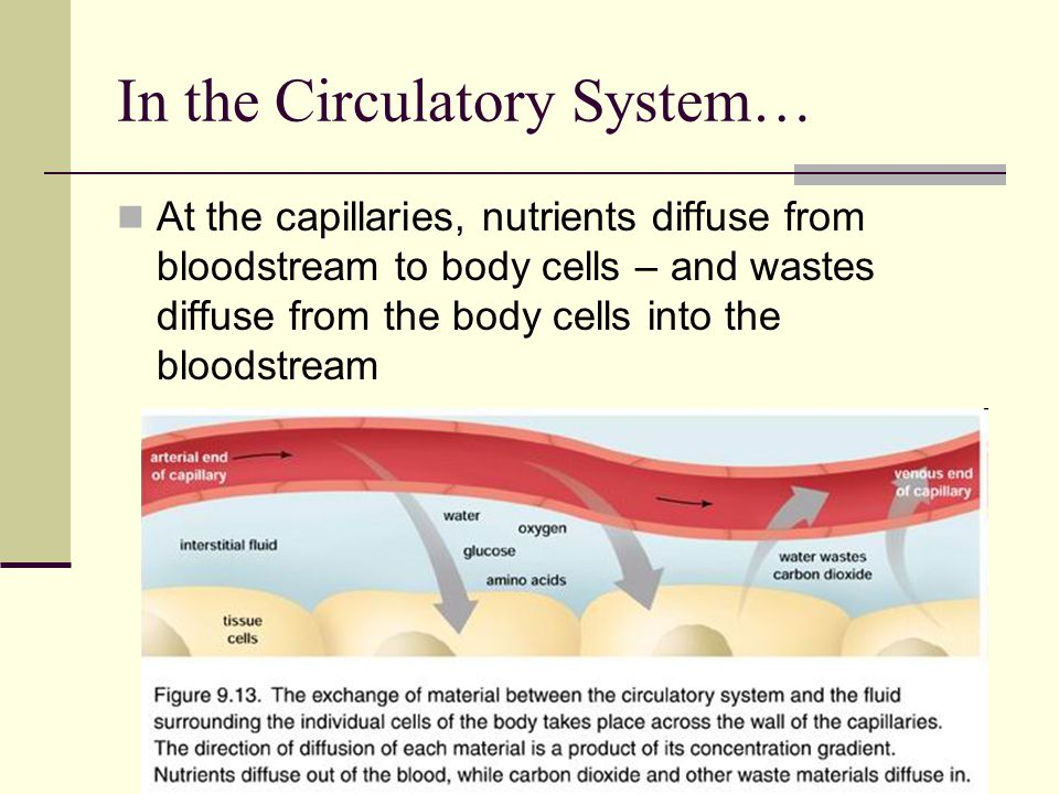 In the Circulatory System… At the capillaries, nutrients diffuse from bloodstream to body cells – and wastes diffuse from the body cells into the bloo