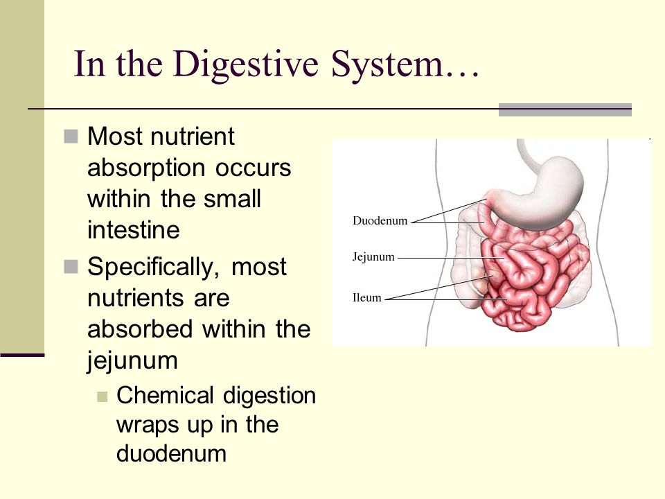 In the Digestive System… Most nutrient absorption occurs within the small intestine Specifically, most nutrients are absorbed within the jejunum Chemi