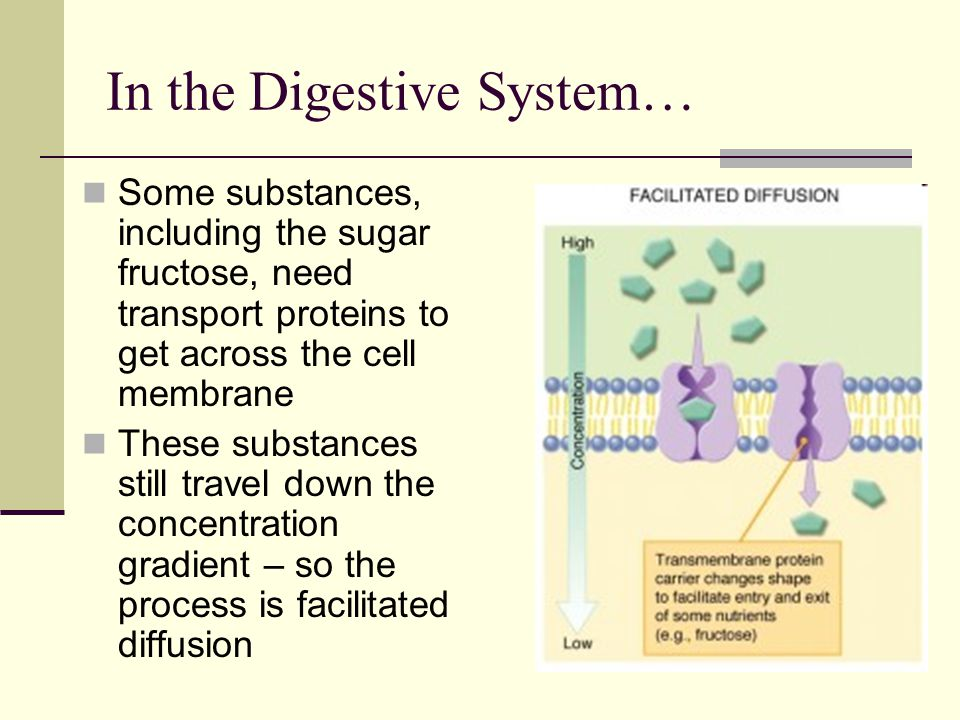 In the Digestive System… Some substances, including the sugar fructose, need transport proteins to get across the cell membrane These substances still