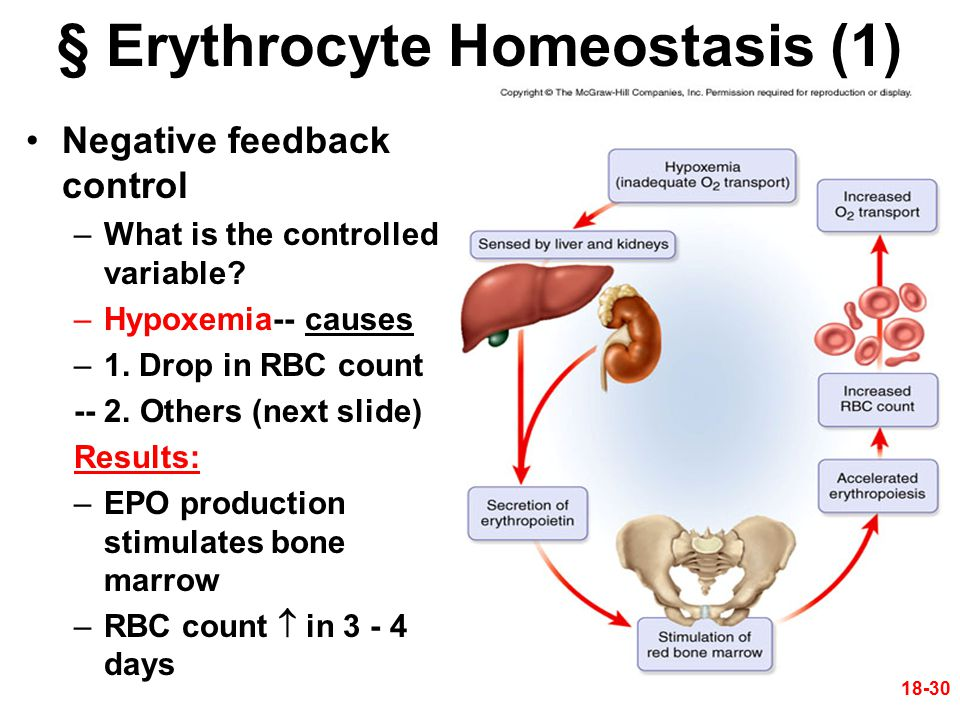 18-30 § Erythrocyte Homeostasis (1) Negative feedback control –What is the controlled variable? –Hypoxemia-- causes –1. Drop in RBC count -- 2. Others