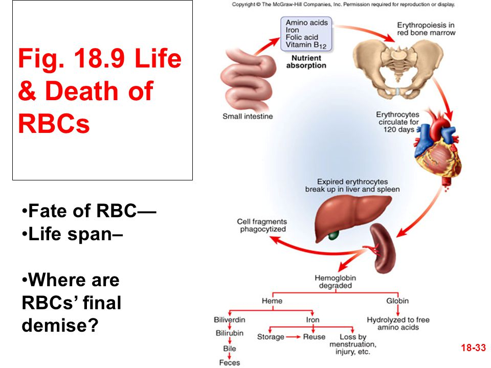 Fig. 18.9 Life & Death of RBCs Fate of RBC— Life span– Where are RBCs' final demise? 18-33