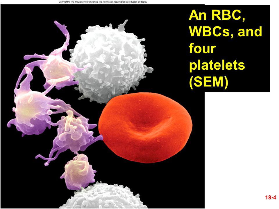 CO 18 18-4 An RBC, WBCs, and four platelets (SEM)