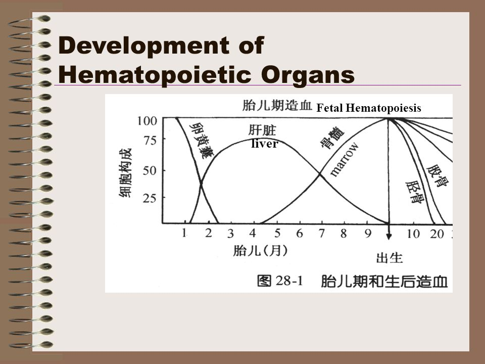 Development of Hematopoietic Organs Fetal Hematopoiesis liver