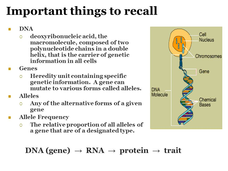 Important things to recall DNA  deoxyribonucleic acid, the macromolecule, composed of two polynucleotide chains in a double helix, that is the carrie