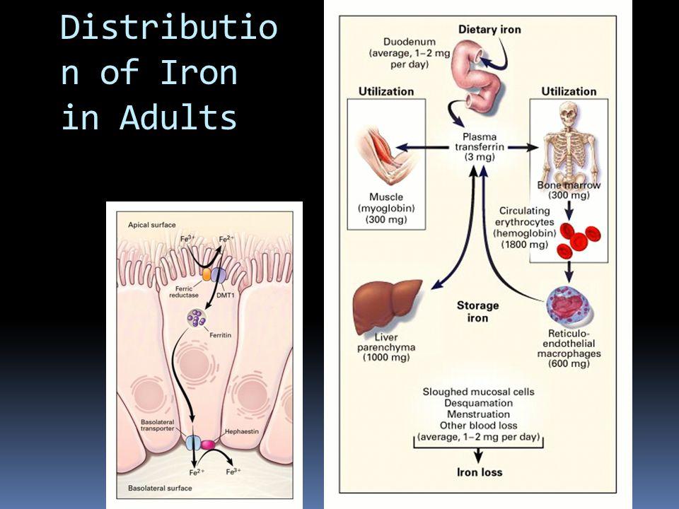 Distributio n of Iron in Adults