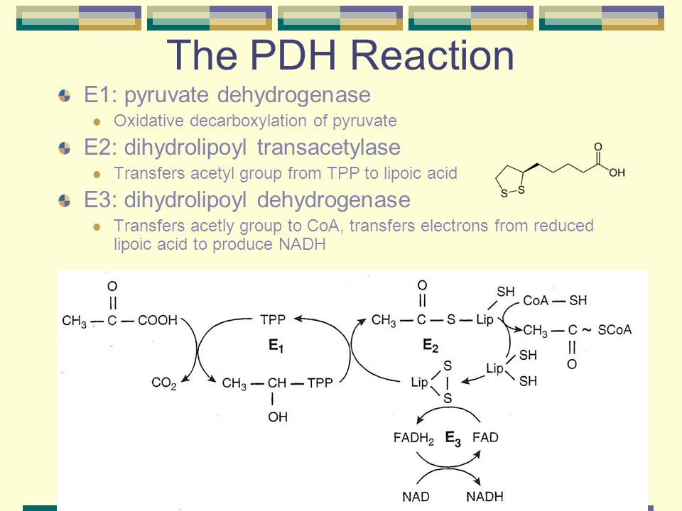 The PDH Reaction E1: pyruvate dehydrogenase Oxidative decarboxylation of pyruvate E2: dihydrolipoyl transacetylase Transfers acetyl group from TPP to lipoic acid E3: dihydrolipoyl dehydrogenase Transfers acetly group to CoA, transfers electrons from reduced lipoic acid to produce NADH