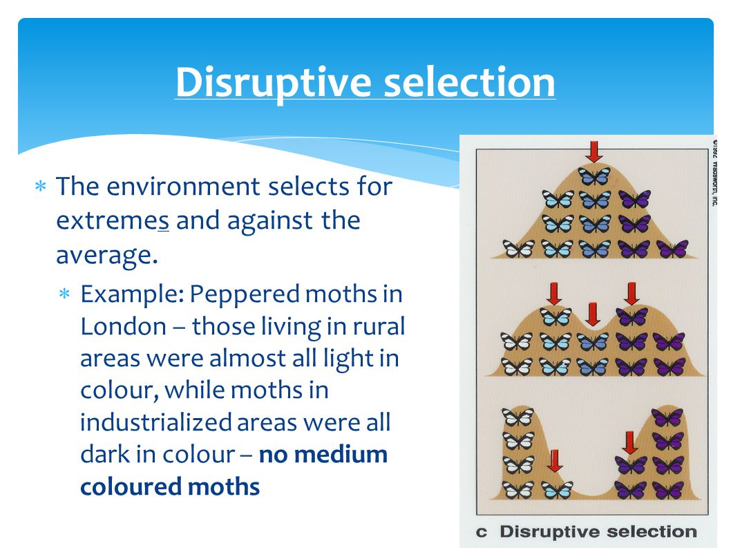 Disruptive selection  The environment selects for extremes and against the average.  Example: Peppered moths in London – those living in rural areas