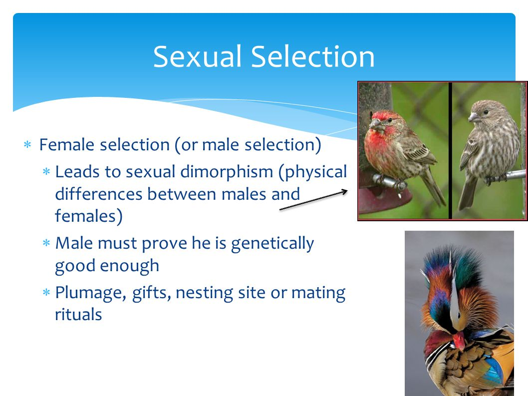 Sexual Selection  Female selection (or male selection)  Leads to sexual dimorphism (physical differences between males and females)  Male must prov